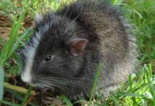 Encuentran roedor que se creia Extinto en Cusco