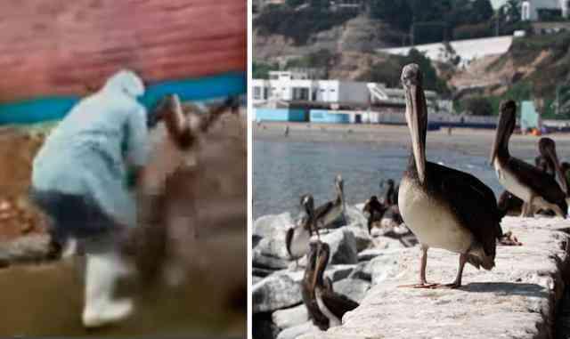 imagen-pelicanos-callao